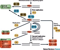 Cellular processing and repair of alkylating agent induced O6meG lesions in DNA by MGMT