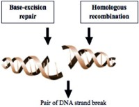 Schematic representation of PARP and BRCA mediated DNA repair
