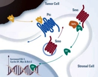 The hedgehog pathway and the interaction of tumor cells with stromal cell